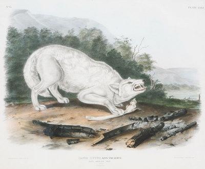 "John James Audubon,White Wolf,Original Print from ""Mammals of North America"" 21"" x 25"""